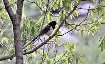 Photo: Himalayan Magpie
