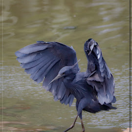 Black Heron by Roedie Zandberg - Animals Birds ( bird, black, birds, heron, birds in flight )