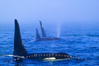 Photo: #WildlifeWednesday  Busy posting day today. Don't forget, today is Wildlife Wednesday by +Mike Spinak .  My contribution today to the wildlife theme is a northern resident family pod of Orcas (Killer Whales) traveling through heavy fog - have you ever tried to follow orcas in fog? That is quit a challenge. I used hydrophones to find them in the first place and from there you only can listen above the water and hopefully the spouts are close enough. To me it was a very cool and mystic experience, maybe even one of the most eeriest photo moments I had with Orcas so far.  Hope you like it! Updated list with all available photo themes (now over 50 - updated daily): http://www.rolfhickerphotography.com/blogs/all-google-plus-photo-themes.htm #WildlifeWednesday #Animals #Whales