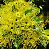 Golden Penda