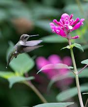 Photo: Visiting rosebud salvia