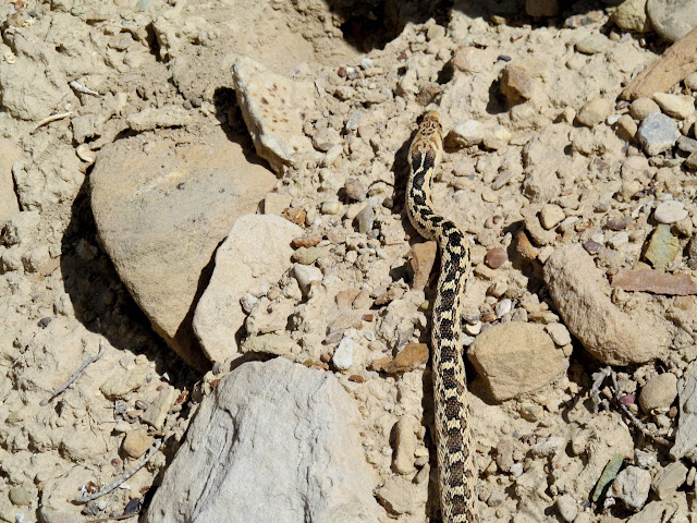 Gopher snake on the trail