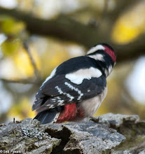 Photo: Great Spotted Woodpecker