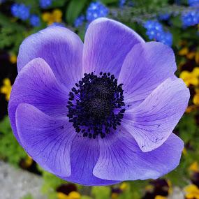 anemone viola by Patrizia Emiliani - Flowers Flower Gardens ( viola, anemone,  )