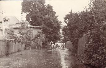 Photo: Hajtják a teheneket akastély felé az ún.belső majorból. Balra a lovarda tornya.Az árvízkor teheneket, disznókat elszállították a faluból