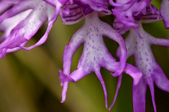 Photo: Orchis italica, orchidea italiana, naked men