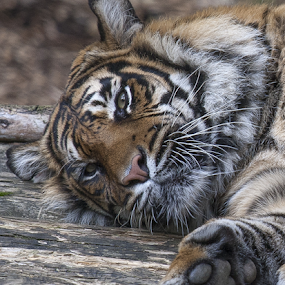Sumatran Tiger by John Dutton - Animals Lions, Tigers & Big Cats ( cat, tiger, sumatran, sumatran tiger, portrait )