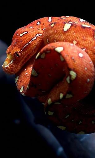 オレンジ ヘビ lwp