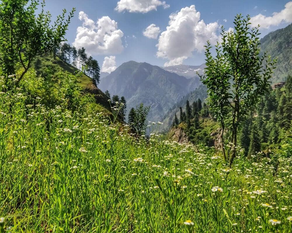 chamomile+shila+village+kullu+parvati+valley+himachal