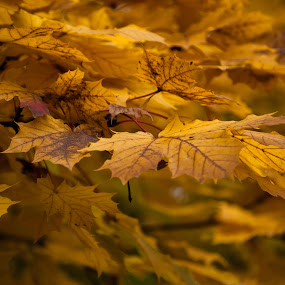 Gold Leaf by Thomas Jones - Nature Up Close Leaves & Grasses ( maple tree, autumn leaves, autumn, gold, autumn colors, maple leaves, bokeh, infinity prime photography, golden,  )