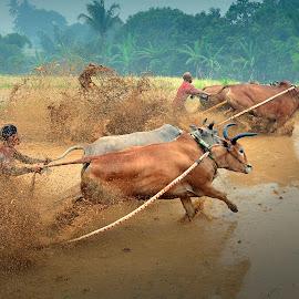 Cow Race by MemenSaputra Mms - Sports & Fitness Rodeo/Bull Riding ( minangkabau, pacuan, memensaputra, bull, race, pacu, indonesia, racing, jawi, tangkas, pacu jawi, sigap, capek, race racing )
