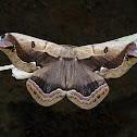 Arsenura xanthopus