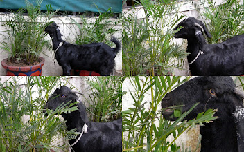 Photo: I met a black goat munching yummy palm leaves in Viman Nagar a few days ago. So I felt relaxed as at least he would then know what the white goat wrote to him in the letter. (Reference in Japanese: http://www.mahoroba.ne.jp/~gonbe007/hog/shouka/yagisanyubin.html) 30th September updated -http://jp.asksiddhi.in/daily_detail.php?id=317