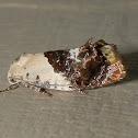 Hypertrophid Moth
