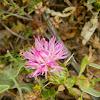 Centaurea ebenoides (Κενταύρια η εβενοειδής)