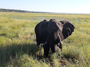 An elephant snacking on grass on the bed of the Chobe River.