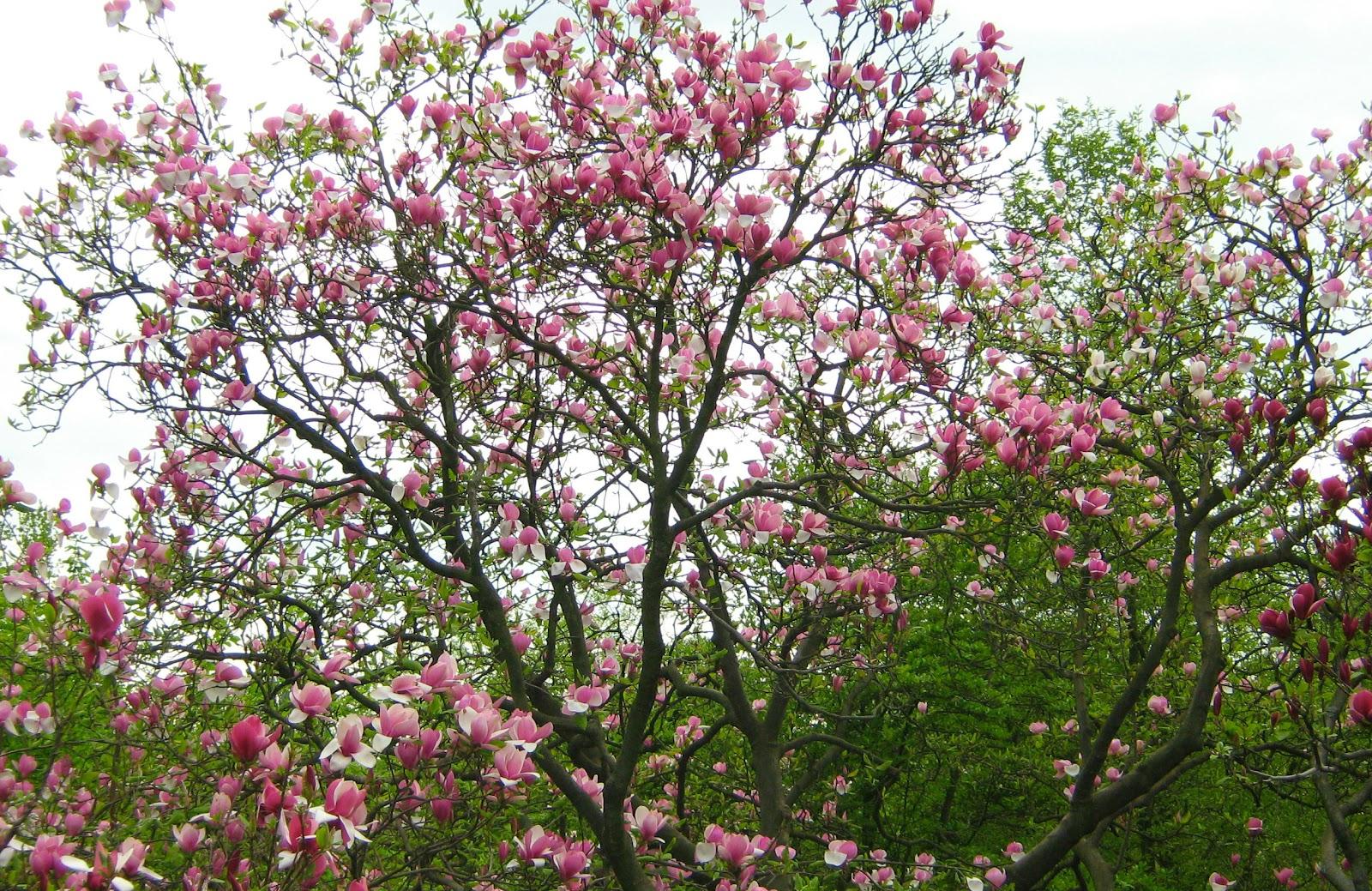 Магнолії в Національному ботанічному саду ім. М.М.Гришка