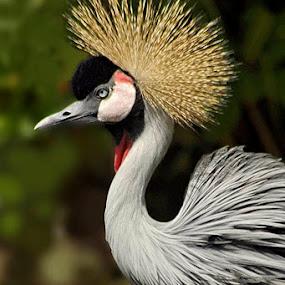 Crown bird by Ian Bismarkia - Animals Birds (  )