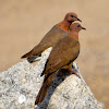Laughing dove