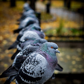 Pigeons in line by Ron n'Roll - Animals Birds ( pigeons, birds,  )