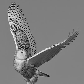 Snowy Owl by Steven Liffmann - Black & White Animals (  )