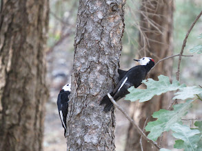 Photo: White-headed woodpeckers, a life bird for us.
