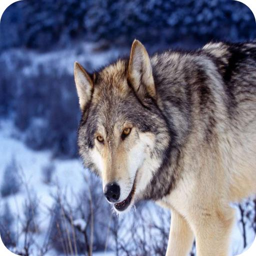 Wolfs wallpapers app (apk) free download for Android/PC/Windows