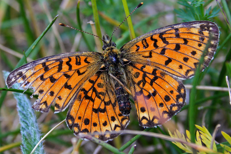 Farfalla di marmar