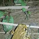 European green toad (Πρασινόφρυνος)