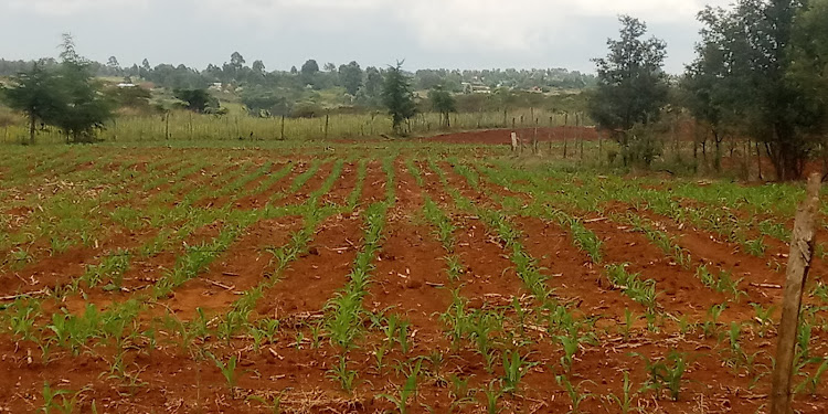 A newly planted maize farm on the outskirts of Eldoret town