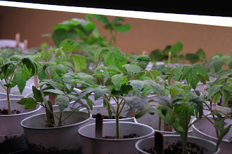 Photo: Tomato seedlings - 4 wks