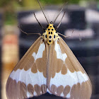 Arched Tiger Moth