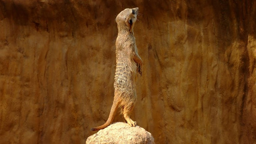 android Animals.Suricate.LiveWallpaper Screenshot 3