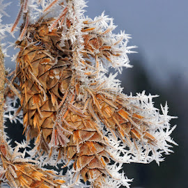 Frosted Fir Cones - 0930 by Twin Wranglers Baker - Nature Up Close Trees & Bushes (  )