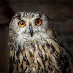 Owl by John Finch - Animals Birds ( owl, nature, eagle owl, feathers, scotland owls, owls, birds, eyes, wildlife, scotland,  )