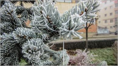 Photo: Molid argintiu (Picea pungens) - din Parcul Teilor  - 2016.11.24