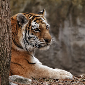 Amur Tiger by Margie Troyer - Animals Lions, Tigers & Big Cats