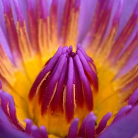 Lotus by Marcelino Moningka - Flowers Single Flower ( lotus, macro, nature, colorful, flower )