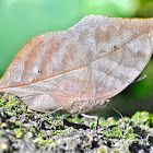 Orange Oakleaf / Dead Leaf