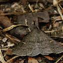 Smoky Tetanolita Moth