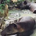 Baird's tapir/Danta