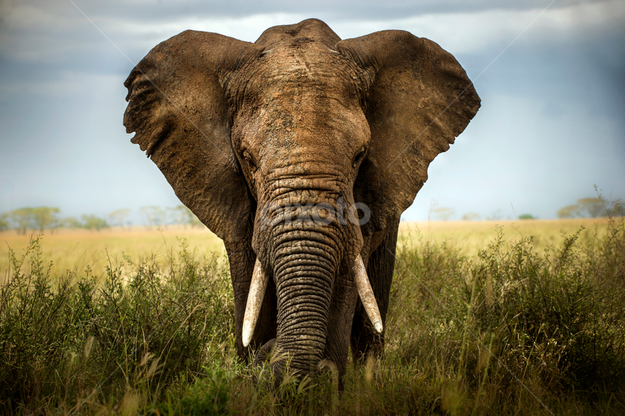 by Alberto Ghizzi Panizza - Animals Other Mammals ( face, serengeti, elephant, ears, fantastic wildlife, front, africa )