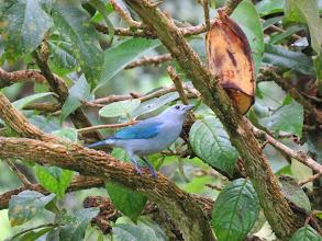 Photo: Blue-gray tananger