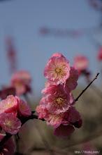 Photo: 関西地区でも広がりを見せているプラムボックスウィルスの感染防止のため、(淋子梅、2014,03,16)