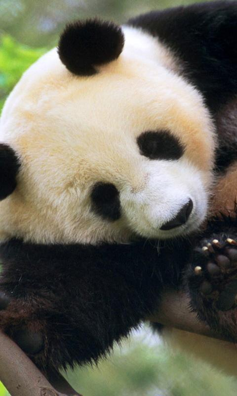 pet panda live wallpaper android apps on google play