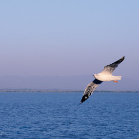 SeaGulls by Sam Symon - Animals Birds (  )