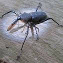 Bearded Weevil