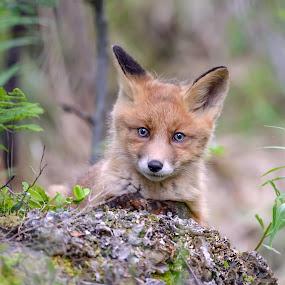 Red fox cub by Marius Birkeland - Animals Other Mammals ( fox, nature, fur, cub, animal )
