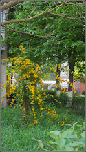 Photo: Trandafir Domnesc, Teisor  (Kerria Japonica) - de pe Calea Victoriei, Mr.3 - 2018.04.23