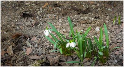 Photo: Ghiocei (Galanthus) - de pe Calea Victoriei, Mr.1 - 2017.03.12